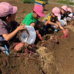 部員と一緒に芋掘りをする園児(9月20日)