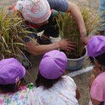 部員と一緒に稲刈りに挑戦する園児(9月17日)